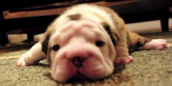 Bulldog Puppy Tries Walking For The First Time, Gets Frustrated And Whines