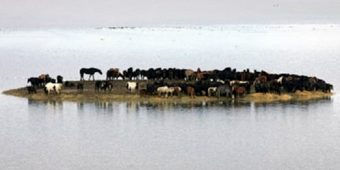 Heavy Flood Traps 100 Horses On A Tiny Island, Locals See No Way Of Saving Them
