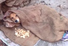 Stray Who Couldn't Stand Found Dressed In Clothes Under A Blanket