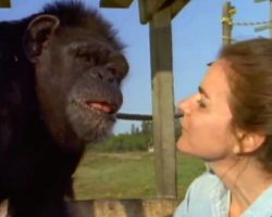 Woman Wonders If The Chimp She Cared For Still Remembers Her 18 Years Later