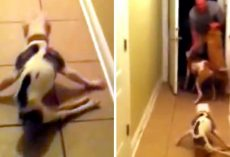 Soldier Dad Returns Home After 6 Months, Dog Forgets Her Back Legs Are Paralyzed