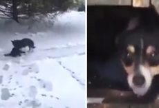 Loving Dog Thinks To Save Motionless Cat Freezing Out In The Snow