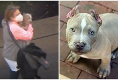 Trio Stole Pit Bull Puppy Out Of His Own Yard, Likely Sold Him For Quick Cash