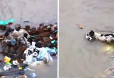 Mama Dog Seen Swimming Her Puppies To Safety Through Flood Waters