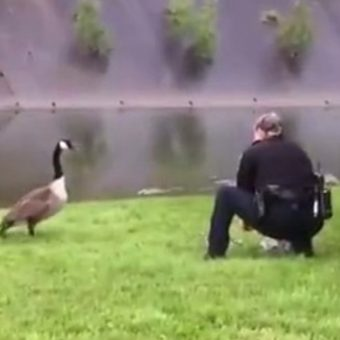 Anxious Mother Goose Pecks At Police Car, Begs Officer To Follow Her To A Creek