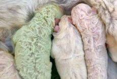 Dog In Italy Goes Into Labor And Gives Birth To A Green Puppy