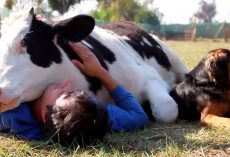 Calf Was Being Abused Before His Slaughter, Man Showed Him Love With A Snuggle