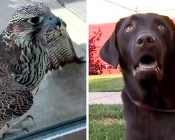 Falcon Lands On Dog's Back And Starts Attacking Him, Stalks The Dog For Hours