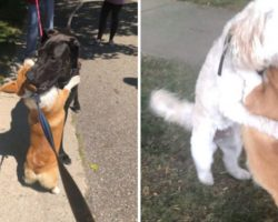 Loving Corgi Hugs Every Dog He Meets On His Walks