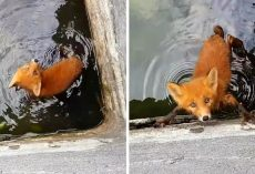 Man Hears Puppy Squealing From An Industrial Tank, But It's Actually A Baby Fox