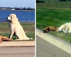 Dog's Best Friend Gets Hit By A Car, Dog Sits Guard Next To Her Body For Hours