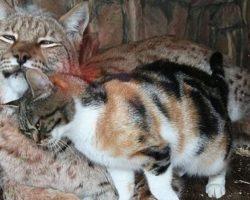 Kitten Breaks Into The Zoo And Befriends A European Lynx