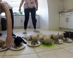 All Ten Puppies Line Up To Eat Solid Food For The First Time In A Cute Ceremony