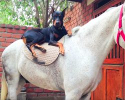 Meet Boss The Doberman, The Dog Known As The 'Horse Whisperer'