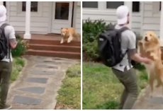 High Flying Golden Retriever Greets Dad By Leaping Into His Arms Every Day