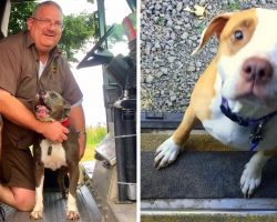 UPS Driver Depressed After His Pit Bull Died, Befriends Pit Bulls On His Route