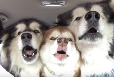 Gentle Giants Are On Their Way To Get Groomed When They Start Singing In Unison