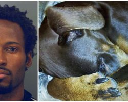 Doberman Buried His Head As Hateful Human Cracked Every Rib In His Quivering Body