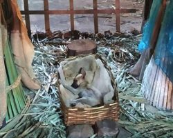 Stray Puppy With Nowhere Else To Go Sleeps In Nativity Scene For Refuge