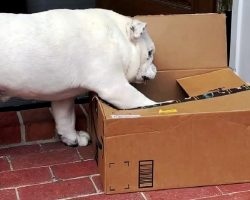 """Bulldog Is Oddly Obsessed With The Weirdest """"Toy"""", So Dad Orders A Boxful Of It"""