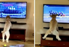 "Patient Dog ""Loses Her Mind"" The Moment The Horses Start Racing On TV"