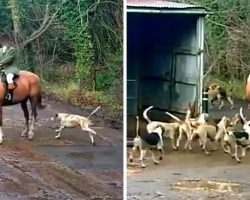 Hunter Illegally Hunts Fox, Then Feeds The Fox's Carcass To His Pack Of Hounds