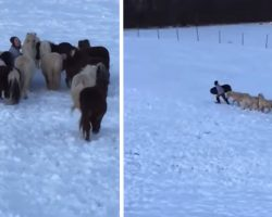 Mini Horses Follow Little Boy Up The Hill To Join Him In Sled Riding