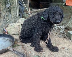 Poodle Lived Life On Short Chain, Wondering If His Family Would Ever Cut Him Loose