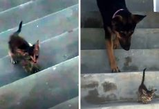 Dog Goes Above And Beyond For Little Kitten Who Was Without A Mother Of Her Own