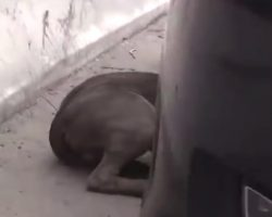 Scared Stray Pittie Didn't Know Where To Turn, Hid From His Fears Under A Car