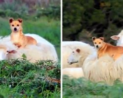 """""""Lazy"""" Herding Dog Hitches A Ride On A Sheep's Back, Shows Us How To Work Smart"""