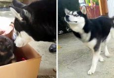 Dog Is Totally Unimpressed When Mom Opens Box And Reveals Her New Baby Brother
