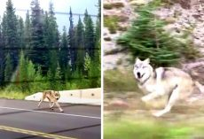 "Grey Wolf Chases Family Car On Freeway, But Some Think He's ""Not A Wolf At All"""