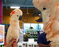 Feisty Cockatoos Met Each Other In Pet Store, Promptly Began Mocking Each Other