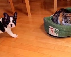 Puppy Fails Spectacularly In His Attempts At Reclaiming His Bed From The Cat