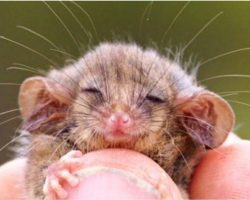 Tiniest Creature Thought Lost Forever Just Re-Emerged After Yr Long Bushfires