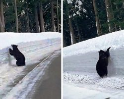 Bear Is Trapped By Snow On Freeway, So Man Starts Following Him To Keep Him Safe