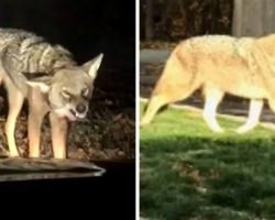 Coyote Waits In Bushes To Ambush Dog, Grabs The Dog And Drags Him Into The Woods