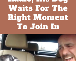 Dad Sings Along To Song On Radio, His Dog Waits For The Right Moment To Join In
