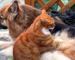 Dog Protects The Rescue Cat, So Cat Returns The Favor With A Soothing Back Rub