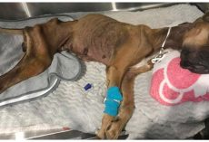 Family Dumps Nearly Lifeless Body Of Emaciated Great Dane & Runs Away
