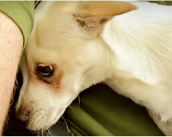 Snarling Chihuahua Looked For Safe Spot With Only Man Who'd Give Him A Chance
