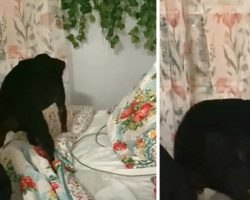 Tired Dog's Routine Includes Tucking Herself Into Bed Every Night