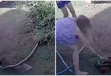 Woman Battles Python, Trying To Loosen His Tight Grip On Her Puppy's Limp Body
