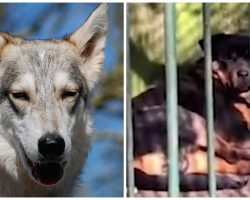 """Employees At Zoo Put Rottweiler In Cage To Replace Wolf That Died Of """"Old Age"""""""