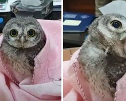Adorable Baby Owl Falls From His Nest And Winds Up In An Office