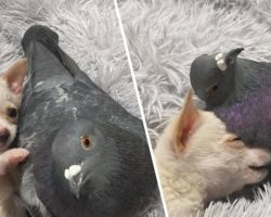 Chihuahua That Can't Walk Becomes Best Friends With Pigeon That Can't Fly, And Their Photos Are Adorable