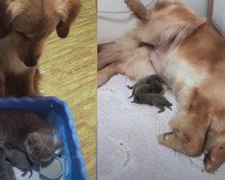 Golden Retriever Sees Cat Nursing Her Kittens, Mimics Being A Mama