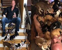 Heartbroken Man Who Was Saved By A Chihuahua Has Rescued Over 30 Tiny Dogs