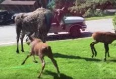 Woman Turns On Sprinkler For Moose Mama And Her Babies On A Hot Day